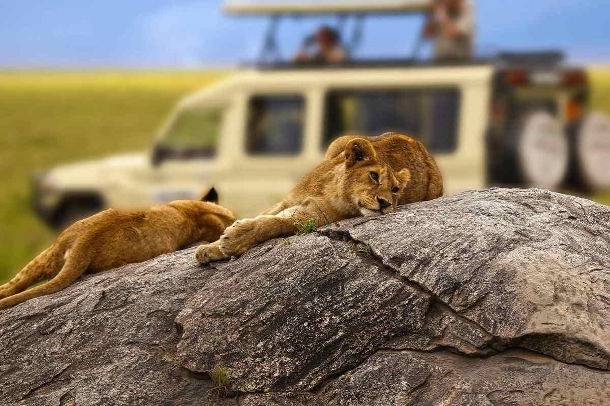 Lion-safaris