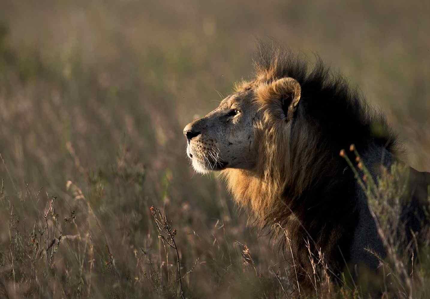 Lion Spotted on Safari