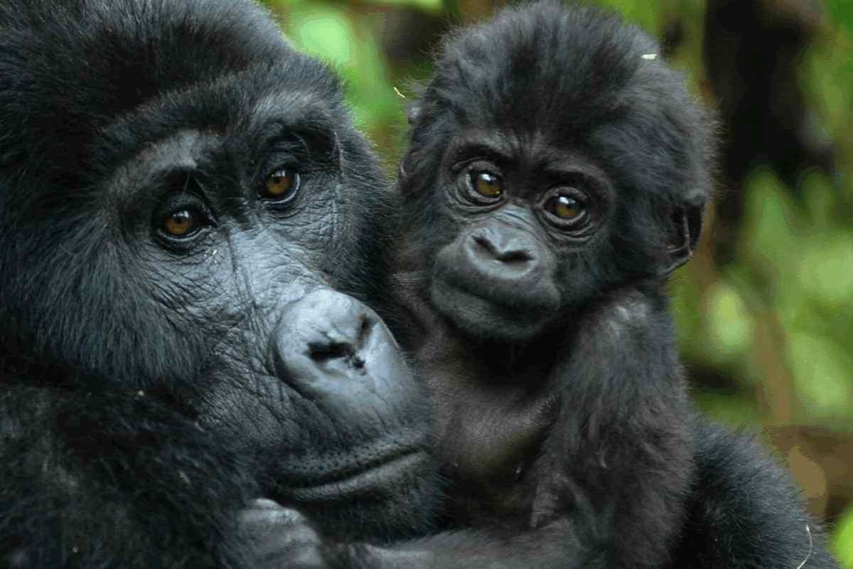 Gorilla-Trekking-Safaris
